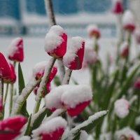 тюльпаны в снегу :: алексей турта