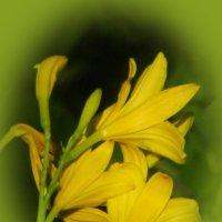 Лилейник желтый ранний :: super-krokus.tur ( Наталья )