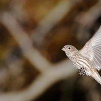 Finch . Female :: Naum