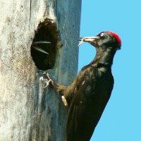 гнездо черного дятла :: gawrilа - dan