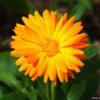 """Цветок календулы....) Неприхотливый цветок под названием """"Ноготок"""" :: Любовь К."""