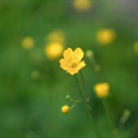 Лютики - цветочки... :: Владимир Гилясев