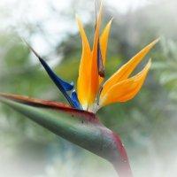 Стрелиция - Райская птица :: Swetlana V
