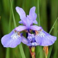 цветок :: Olga