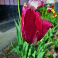 Самый последний тюльпан нашего двора... :: Sergey Gordoff
