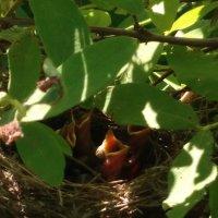 Новая жизнь, птенцы дрозда :: Альбина Козина