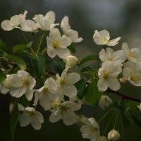 Яблони в цвету :: Оксана Галлямова