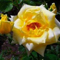Нежно - жёлтая роза.. :: Любовь К.