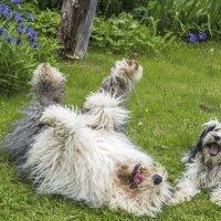счастливые собачки :: Лариса Батурова