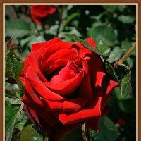 Роза :: Владимир Бровко