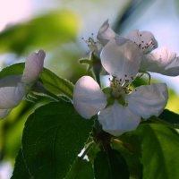 Цветок яблони. :: Пётр Беркун