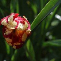 цветы после дождя :: Юлия Куваева