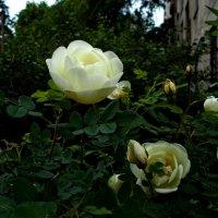 Куст белых роз :: Tarka