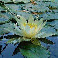 Царица вод - красавица кувшинка.... :: Galina Dzubina
