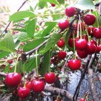 Поспевают вишни :: татьяна