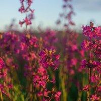 Полевые цветы :: Анастасия Жигалёва