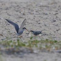 royal terns делят рыбу :: Naum