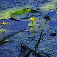 Кувшинки на озере :: Маргарита Батырева