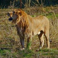 царь зверей :: Андрей Козлов