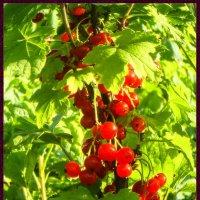 Красная смородина :: Elena