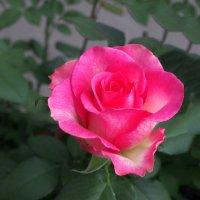 Роза на продажу :: Дубовцев Евгений
