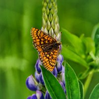 Люпин и бабочка :: Андрей Дворников