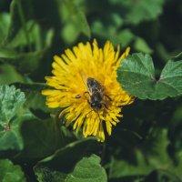Из жизни пчел :: Evgenija Enot