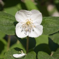 Белые цветы лета :: Анатолий Иргл