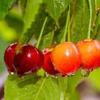 Поспела черешня в моем саду .  . :: Евгений Кузнецов