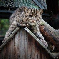 Виверровый кот :: Аркадий Лаптенко