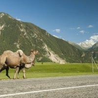 верблюды на Кавказе :: Евгений Khripp