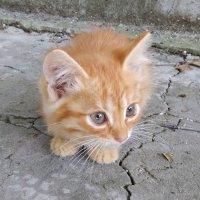 Кому нужны котята (рыжий мальчик и бело-рыжая девочка)? (Луганск) :: Наталья (ShadeNataly) Мельник