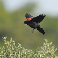 Red Winged Blackbird :: Naum