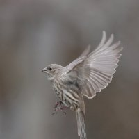 finch Female :: Naum