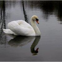 Лебедь :: Сергей