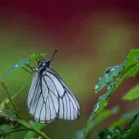 Бабочка- боярышница :: Оксана Галлямова