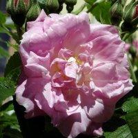 Гибрид розы и шиповника. :: Алексей Цветков