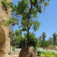 Апельсиновое дерево висит... в Яффо :: Герович Лилия