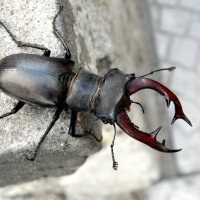 Красавец жук-олень! :: *MIRA* **