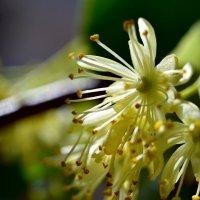 липы цветок :: Валерия Шамсутдинова