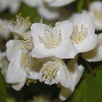 Белеют в зелени жемчужные цветы..... :: Tatiana Markova