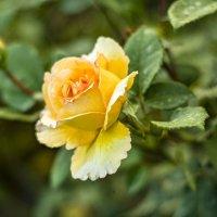 золотая роза :: Галина Григорьева