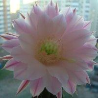 Цветок кактуса :: марина ковшова