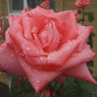Просто летний дождь... :: Тамара (st.tamara)