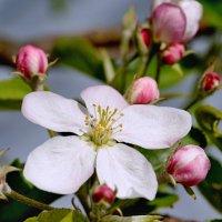 Яблоня цветет :: Дмитрий