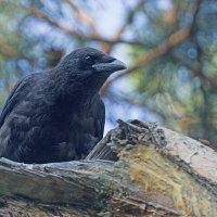 Любопытный ворон :: Анатолий Иргл