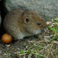 мышки орешки не кушают :: StudioRAK Ragozin Alexey