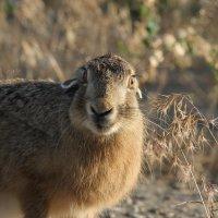 Заяц степной!! :: Борис E