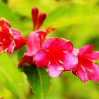цветы :: Алёна Скрипник
