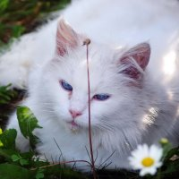 Ромашковая кошка :: Олег Шендерюк